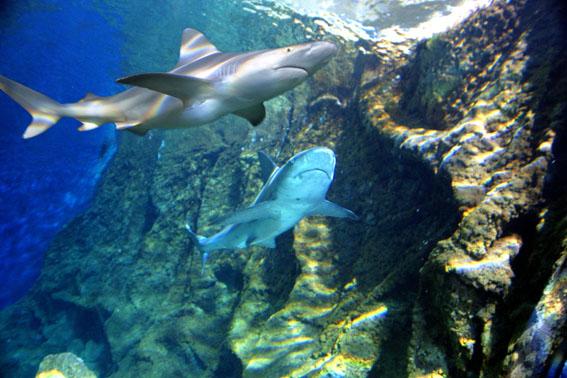 Marineland requin les parcs d 39 attractions - Camping les jardins de la mer antibes ...